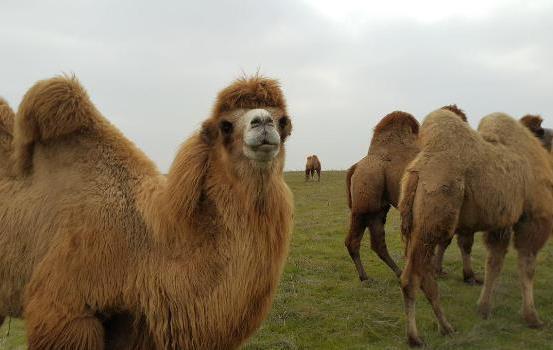 جشنواره شتردوکوهانه در بیله سوار برگزار می گردد